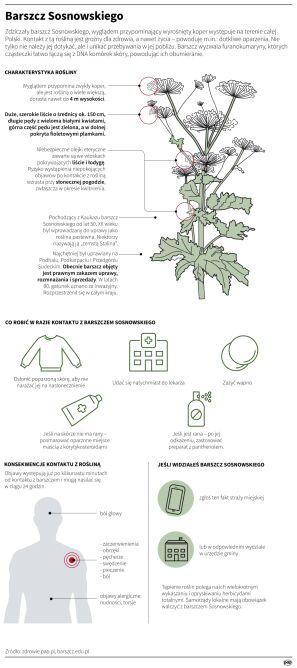 Barszcz Sosnowskiego jest rośliną niebezpieczną dla zdrowia (Maria Samczuk/PAP)