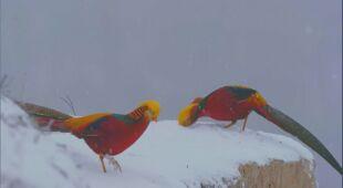 Dwa złociste bażanty tańczyły w śniegu